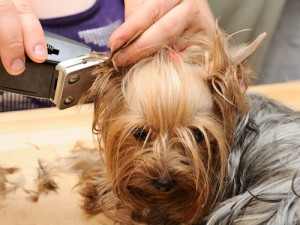 why-shop-with-sensei-shears-for-dog-grooming-products_16001125_40011321_0_14067415_500